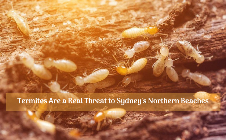 Termites Are a Real Threat to Sydney's Northern Beaches