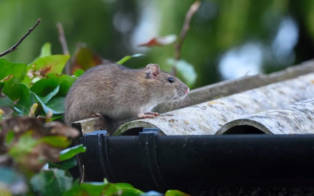 How to protect your home from rodents
